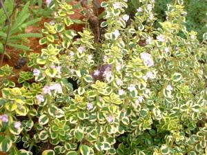 Thymus citriodorus variegata (varigated lemon thyme) citrus thyme