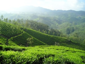 field of green tea